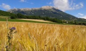 Les blés de Sigoyer
